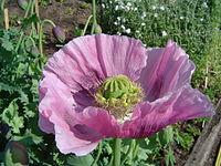 Opium poppy.jpg