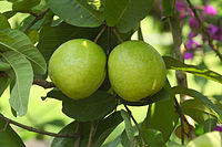 Psidium guajava at Kadavoor.jpg