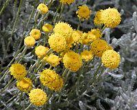 Santolina chamaecyparissus flowers.jpg