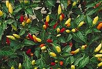 Tabasco peppers.JPG