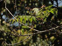Tender Neem leaves in Karnataka, India.JPG