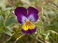 Viola tricolor, Schenley Park, 2015-10-01, 01.jpg