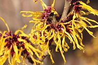Witch Hazel.jpg