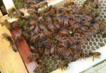 زنبورعسل1