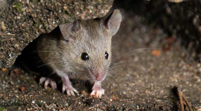دفع موش