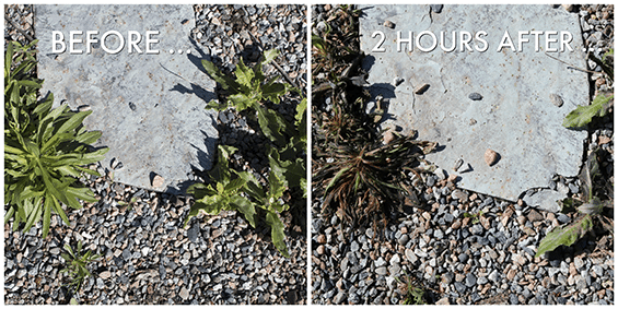 Before and after photos best way to kill weeds not Roundup