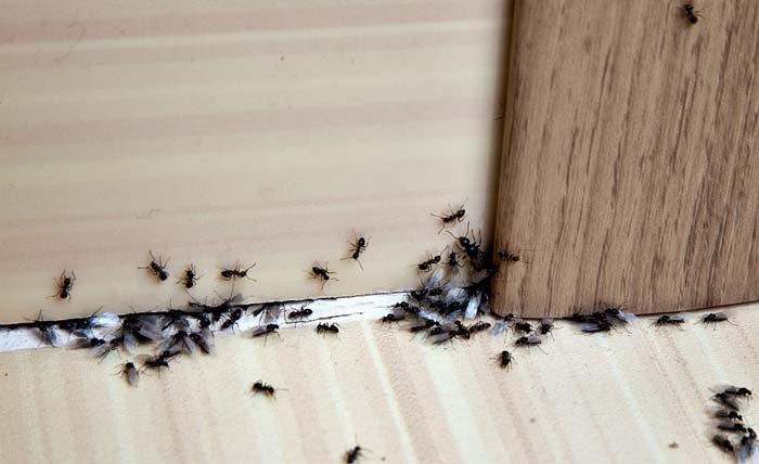مورچه در خانه
