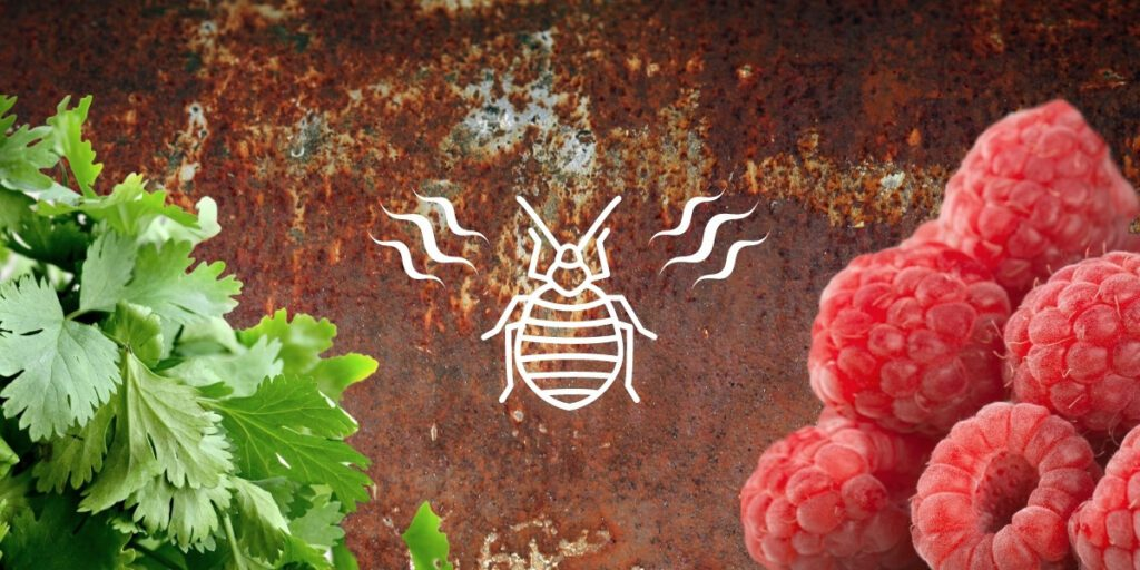 Signs of bed bugs include odors that can smell like cilantro, raspberries, rust, and moldy laundry