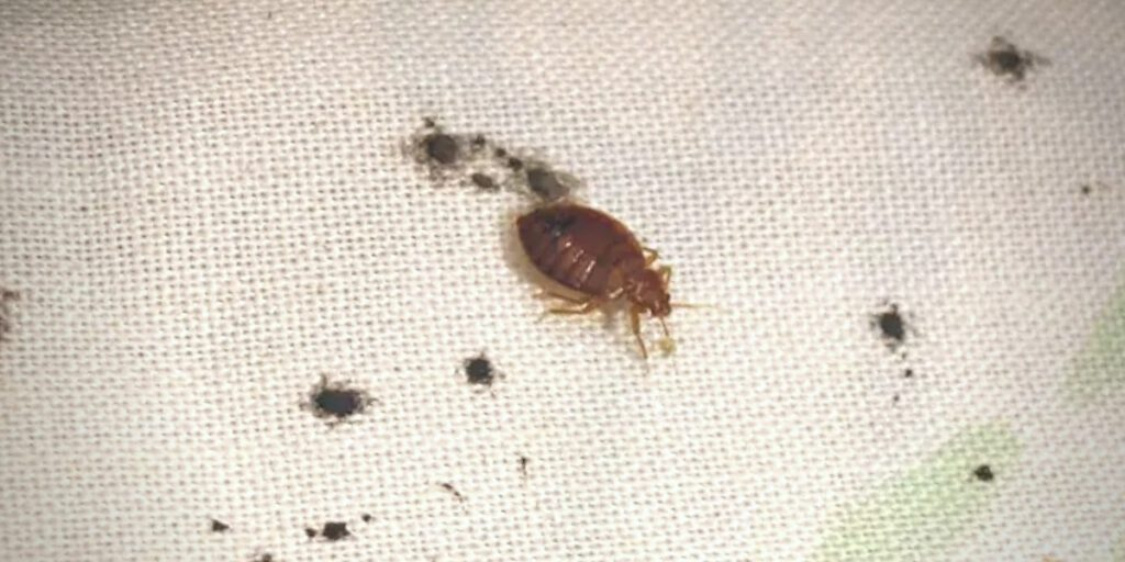 Signs of bed bugs include tiny dark fecal marks resembling magic marker stains