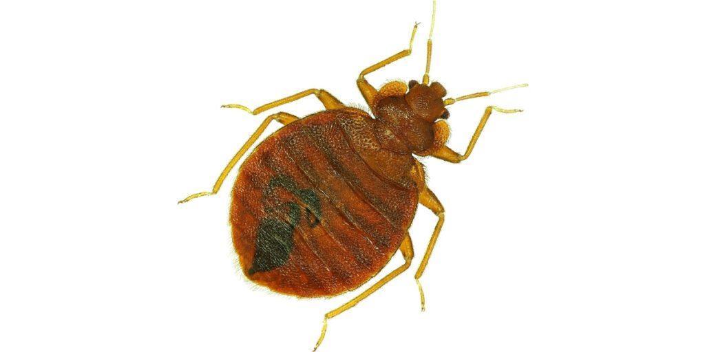 Up close image of an adult bed bug specimen